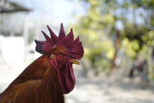 Il nostro Gallo