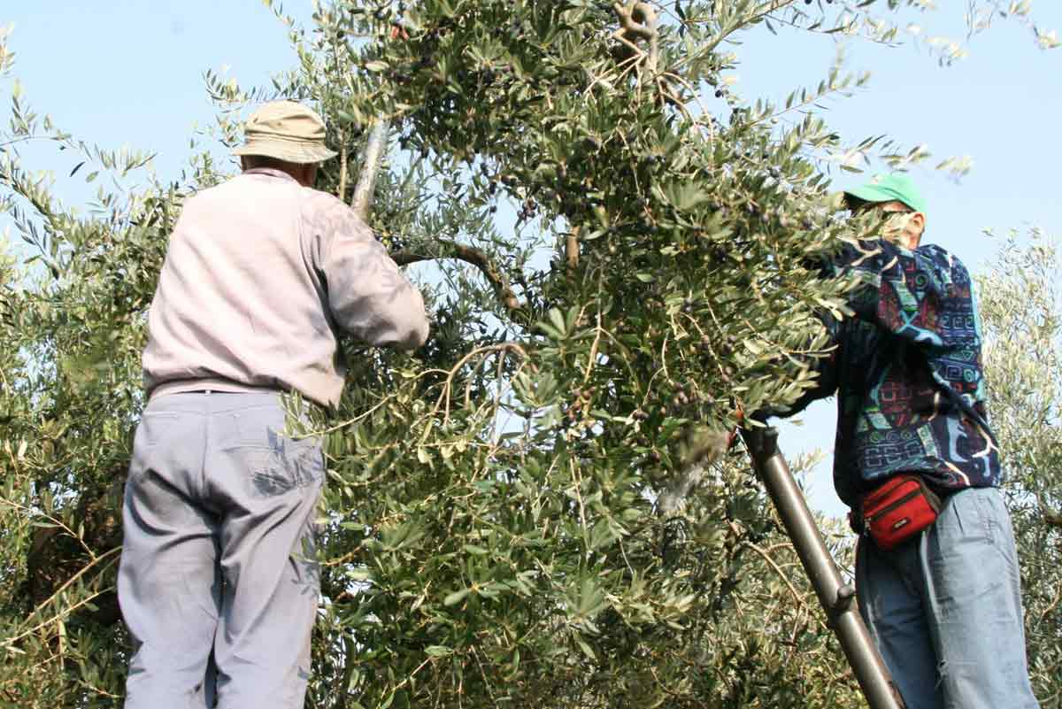 Olive-raccolta2